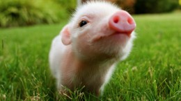Photo courtesy of teacuppig.tumblr.com // Senior Annie Morelli gives her thoughts on the trend of adopting teacup pigs as pets.